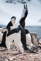 Chinstrap Penguin Mating Call