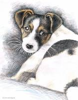 Jack Russell Welpe