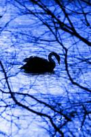 Swan Lake Blues