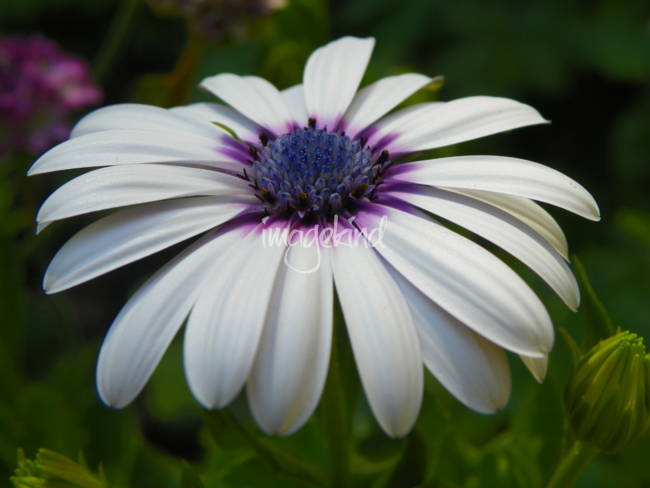 White And Purple African Daisy Flower By Capturing Nature