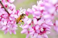 Red Bud Honeybee