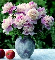 multicolored peonies and apples