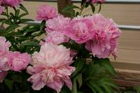 Peony Clusters