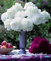 Still life with white peonies and apples