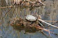 Painted Turtle on mud and reeds