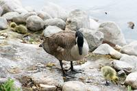 Canada Goose and Gosling on a Lakeshore