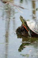 Painted Turtle on Mud in a Marsh