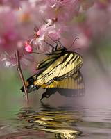 Swallowtail Reflections