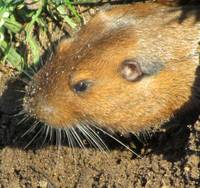 A fine looking gopher