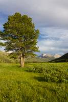Pine Tree in a Meadow