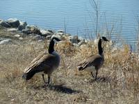 Pair of Canada Geese Walking to a Lake