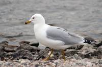 Herring Gull Walking on a Rocky Beach
