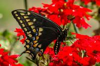 Baird's Old World Swallowtail Butterfly_InBf-0087