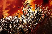 Fire in the corn field
