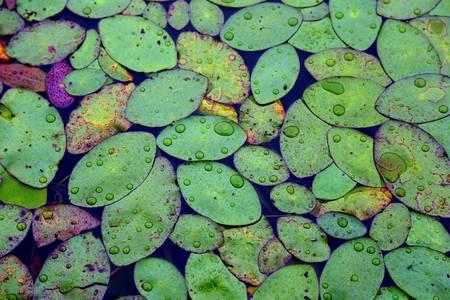 Rainy Pond Leaves