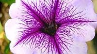 purple flower cartoon1