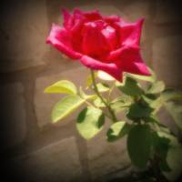 Rose Art Prints & Posters by Mayreni Falcon Rivera