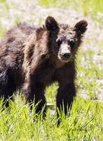 _MG_2763.Togwotee.Grizzly6