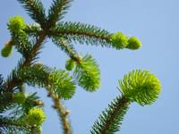 Conifer Pine Tree Art prints Blue Sky Forest Lands
