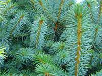 Conifer Spruce Tree Branches Forest Landscapes