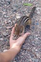 Chippy the chipmonk