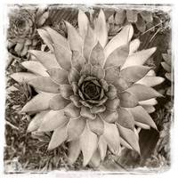Hen and Chicks Plant