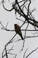 American Kestrel in a Tree
