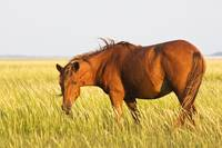 Wild Horse Feeding on Tidal Flats