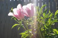 Tulips and Sun Beams