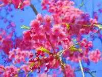 vivid-weeping cherry
