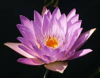 Lavender Water Lilly