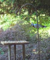 Blue Jay at Lunch copy