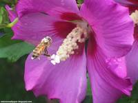 Bee Pollenating Rose Of Sharon