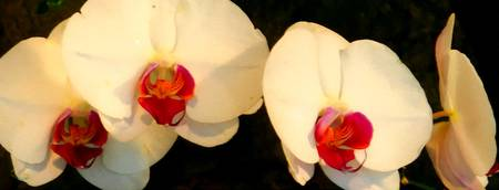 white orchids brushstrokes