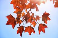 Sunlight on Red Leaves