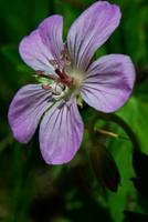 Wild Geranium of the Tetons