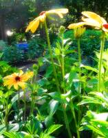 bright daisies in morning