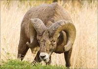 Big Horn Ram Grazing With Major Horns