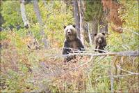 Grizzly Bear On Hind Legs In Forrest