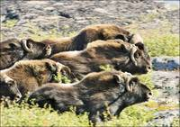 Herd Of Muskox Tundra