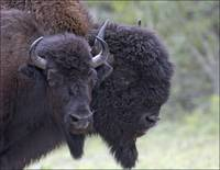 Male And Female Woodland Bison