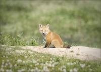 Red Fox Cub At Tundra Den