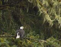 Bald Eagle And Juvenile In Northern Mist