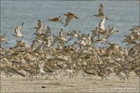 Godwit Flock On Beech Taking Off