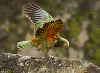 Juvenile Kea Worlds Only Mountain Parrot