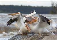 Pelicans Fishing At Rapids Fort Smith