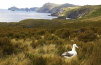 Royal Albatross On Nest