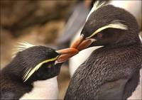 Snares Island Crested Penguin Pair Preening