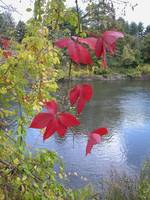 Red Leaves Stand Out In Front Of A River