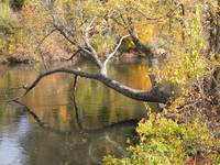 A Dead Tree Hangs Over A River In Autumn